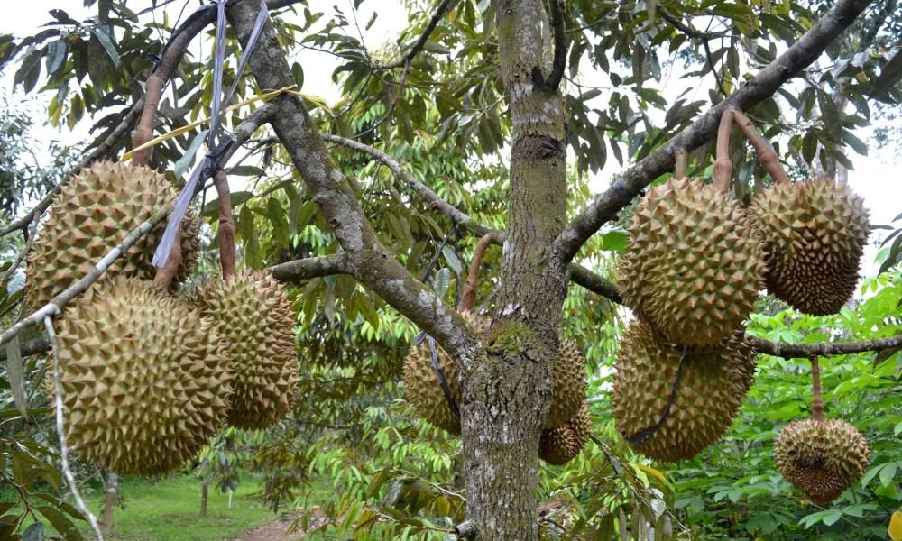 Bibit Durian Unggul yang Cepat Berbuah