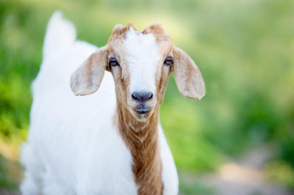 Cara Memilih Domba Aqiqah yang Perlu Anda Ketahui